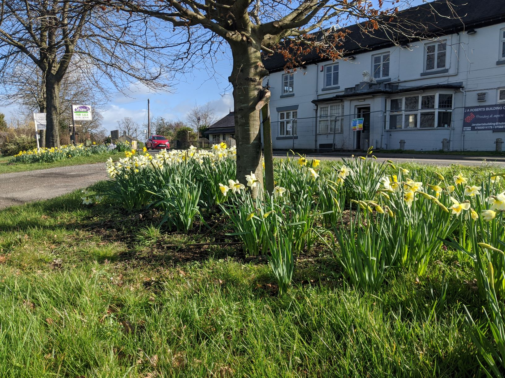Daffodils opposite the White Lion, March 					2020